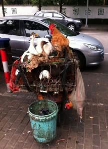Hühnermoped // 鸡摩托车